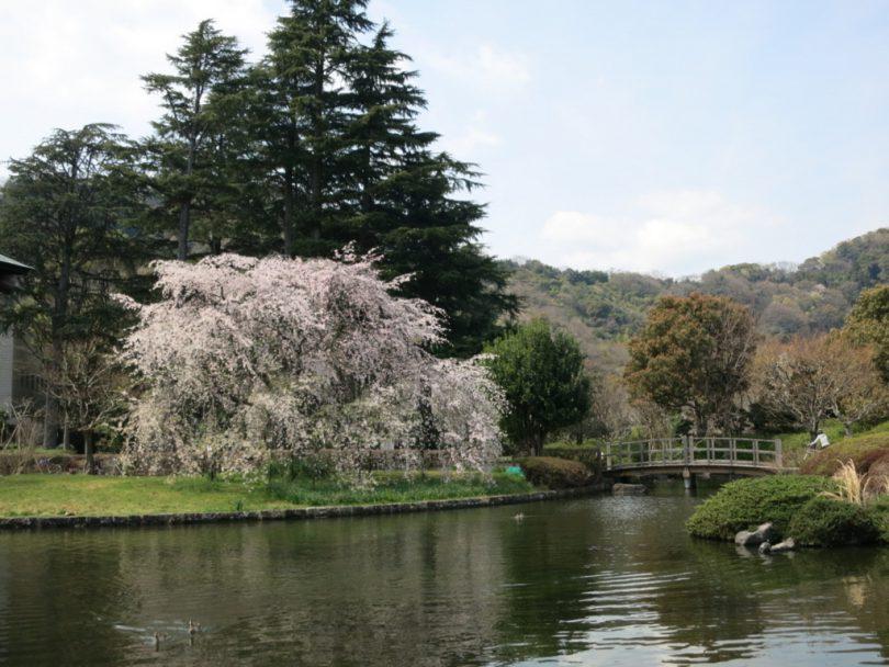 城北公園の桜