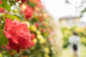 一本木公園のバラ