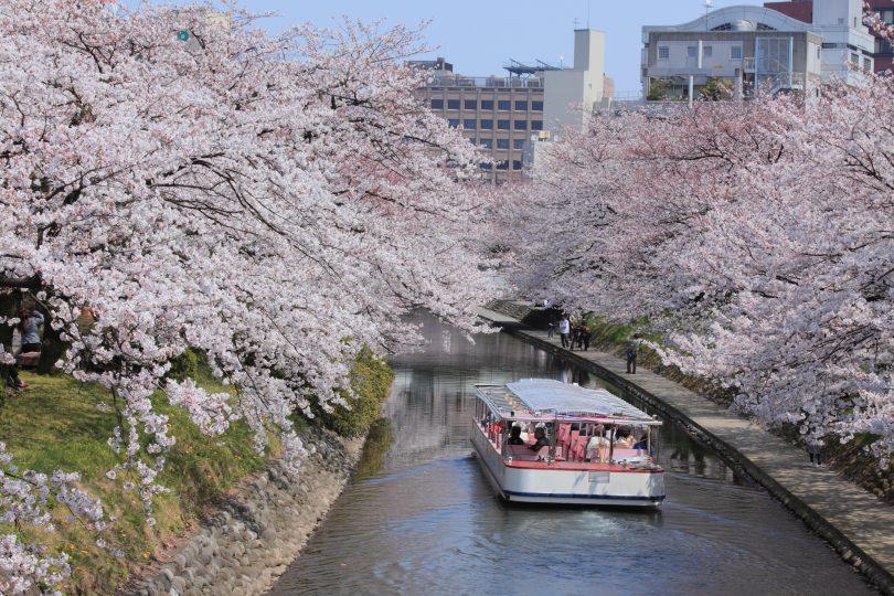 松川遊覧船「神通」と満開の桜