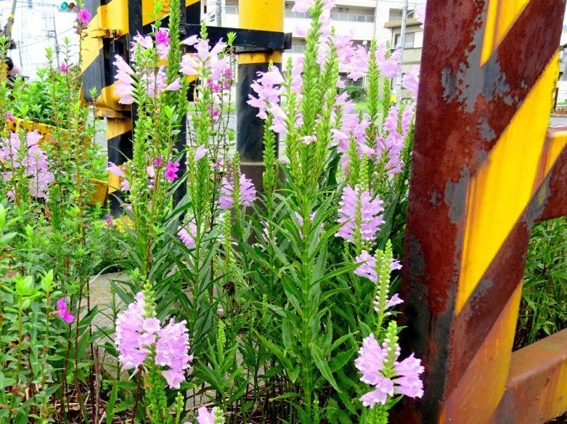 高岳引込線 踏み切りで咲く花