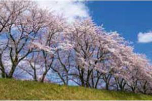 法勝寺川周辺の桜