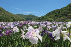 錦秋湖川尻総合公園あやめ園