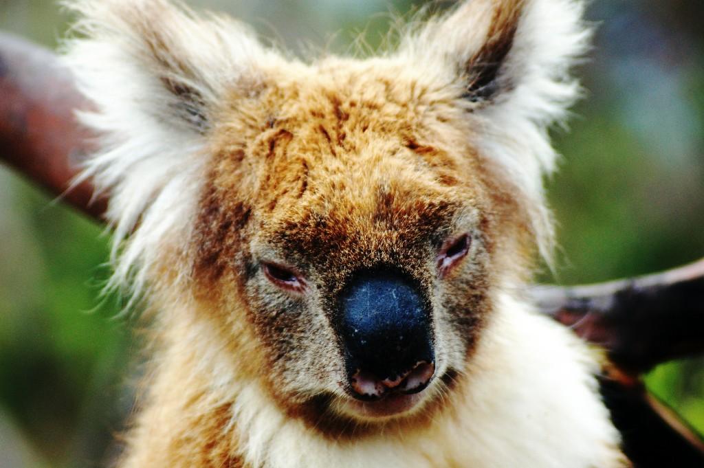 koala-bear-594341_1920