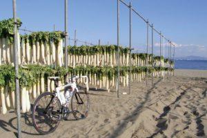 三浦海岸の大根干し
