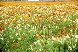9_日本一のポピー畑