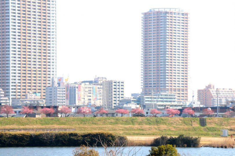 反対岸からみた河津桜の並木