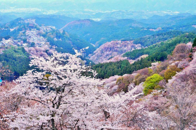 吉野山_桜