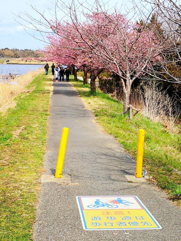新川-河津桜並木