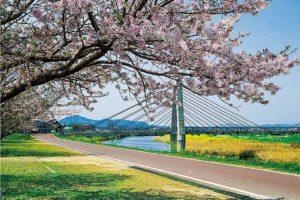 菊池の桜並木