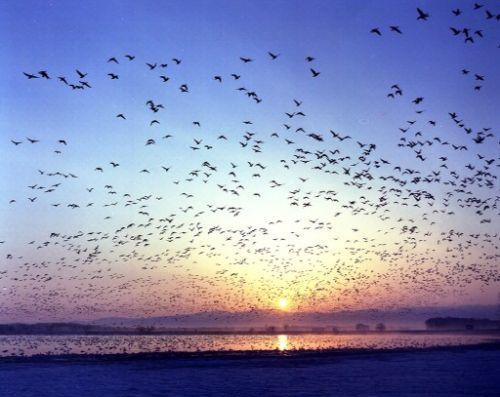 07_宮島沼に飛来するマガンの様子