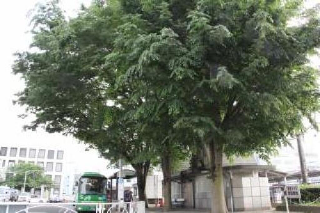 近隣のおすすめスポット「志村けんの木」